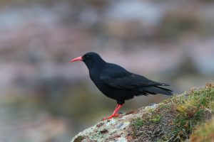 chough_neil_morris_mg_9939